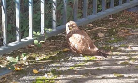 Verletzter Greifvogel sorgt für Stau im Hönnetal
