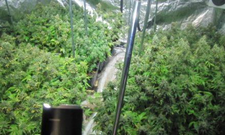 Polizei taucht urplötzlich in Mariuhana-Plantage auf