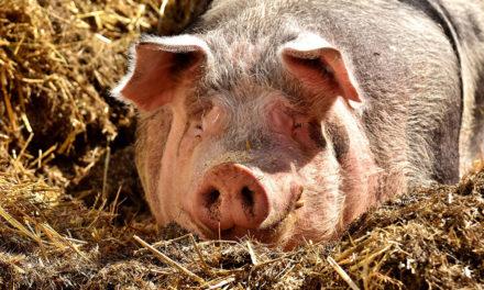 Volkringhausen: Bau einer Stallanlage für 1.450 Mastschweine geplant