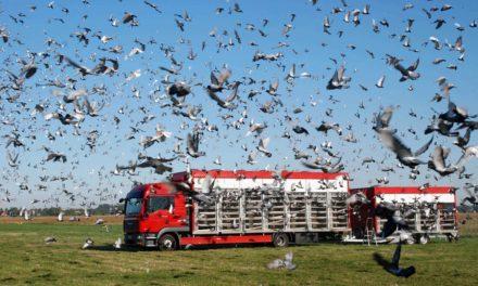 Taubenzüchter aus Balve und Neuenrade starten ersten Preisflug