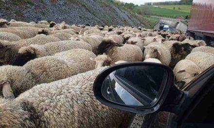 Schafherde legt Verkehr in Garbeck lahm