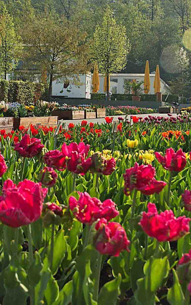 Sauerlandpark verschenkt am Samstag Tausende Tulpen