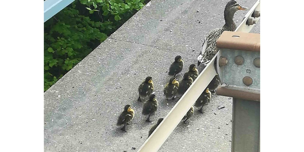 Polizisten retten Entenfamilie