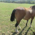 Unglaublich: Pferd auf der Weide den Schweif gekürzt – Polizei sucht Täter