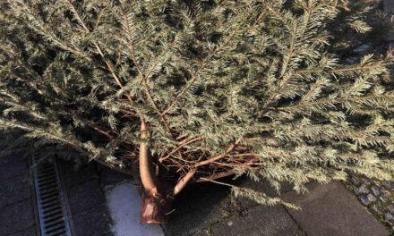 Kolping sammelt Weihnachtsbäume ein