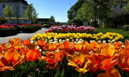 Tulpen suchen ein neues Zuhause