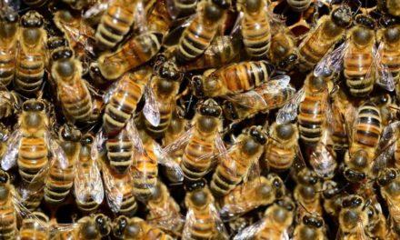 Imker stört Bienendieb mitten in der Nacht