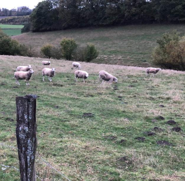 """""""Ich bin schockiert"""" – Hat ein Wolf die vier Schafe des Balvers gerissen?"""